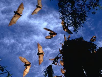 Flying Foxes (Bats) at Dusk, Mataranka, Australia-Regis Martin-Photographic Print