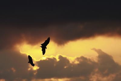 Flying Foxes (Pteropus Vampyrus)-Nic Bothma-Photographic Print