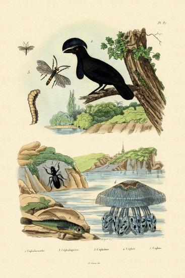 Flying Gurnard, 1833-39--Giclee Print