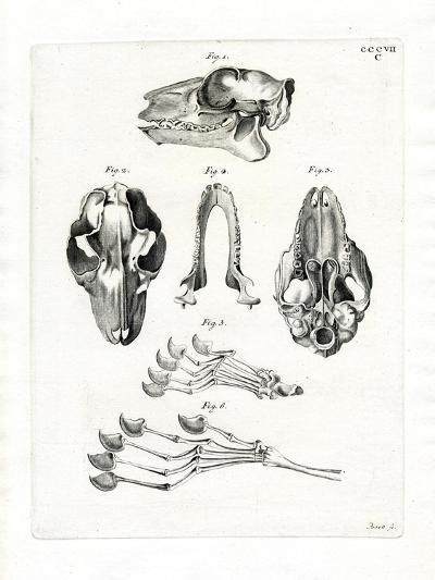 Flying Lemur Skull--Giclee Print