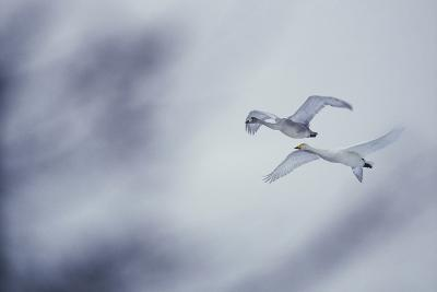 Flying Whooper Swans-DLILLC-Photographic Print
