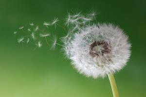 Dandelion Seeds in the Morning Mist Blowing Away across a Fresh Green Background by Flynt