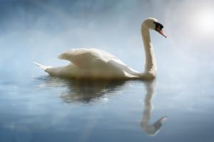 Swan in the Morning Sunlight with Reflections on Calm Water in a Lake by Flynt