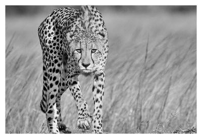 https://imgc.artprintimages.com/img/print/focused-predator_u-l-f8syw70.jpg?p=0