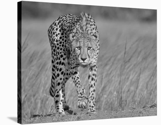 Focused Predator-Jaco Marx-Stretched Canvas Print