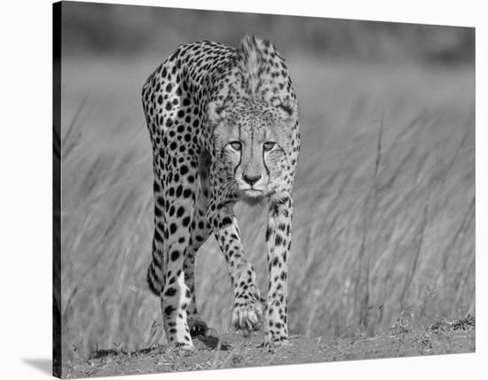 Focused Predator-Jaco Marx-Stretched Canvas Print