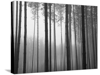 Fog and Pines I-John Bartosik-Stretched Canvas Print