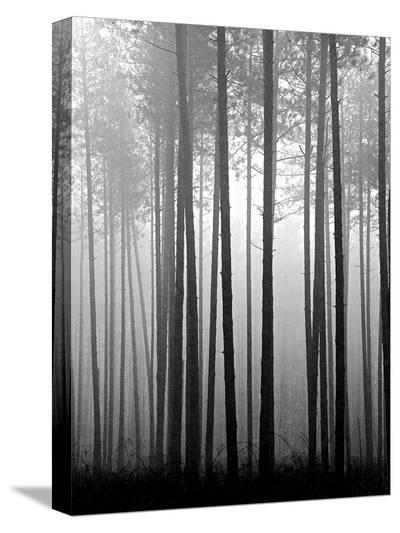 Fog and Pines IV-John Bartosik-Stretched Canvas Print
