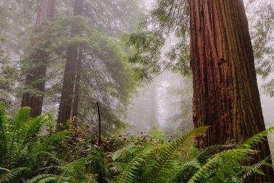Fog and Redwood Grove, California Coast-Vincent James-Photographic Print