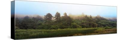 Fog over Trees, Redwood National Park, California, USA