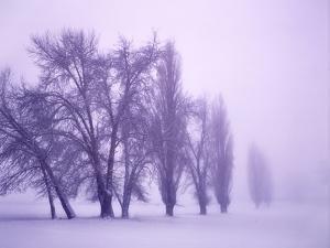 Fog shrouded Poplar and Cottonwood trees, Deschutes County, Central Oregon, USA