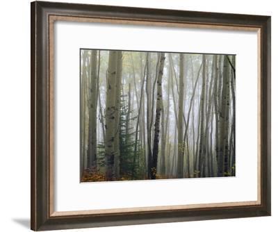 Foggy Aspen Forest Near Ester Interior Ak Autumn-Design Pics Inc-Framed Photographic Print