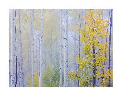 Foggy Morning Aspen I-Don Paulson-Giclee Print