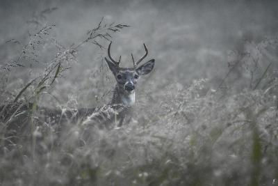 Foggy Morning Buck-Jai Johnson-Giclee Print
