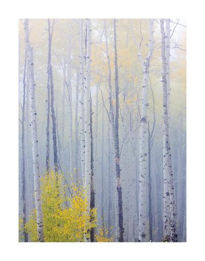 Foggy Morning in Aspen Forest I-Don Paulson-Giclee Print