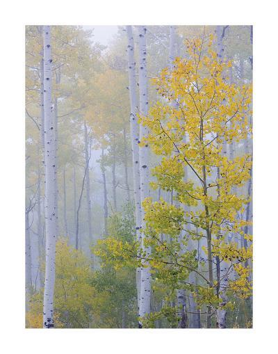 Foggy Morning in Aspen Forest II-Don Paulson-Giclee Print