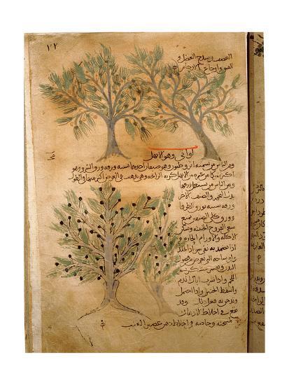 Folio 22R of the Arabic Version of Dioscorides' De Materia Medica--Giclee Print