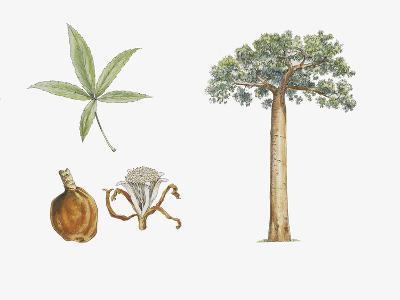 Fony Baobab (Adansonia Rubrostipa) Plant with Flower, Leaf and Fruit--Giclee Print