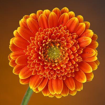 Orange Starburst Gerber With Dew Drops On Brown Background