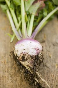 Turnip with Roots and Soil by Foodcollection