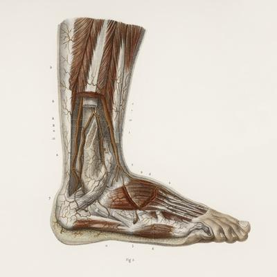 https://imgc.artprintimages.com/img/print/foot-anatomy-19th-century-illustration_u-l-pzh6ao0.jpg?p=0