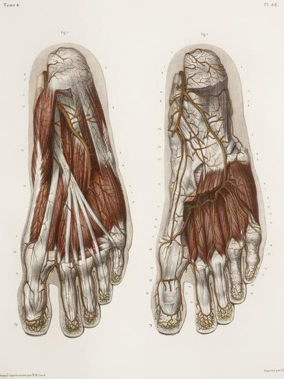 Foot Anatomy, 19th Century Illustration-Science Photo Library-Photographic Print