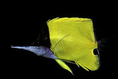 Forcipiger Longirostris (Longnose Butterflyfish, Big Longnose Butterflyfish)-Paul Starosta-Photographic Print