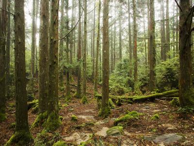 Forest Along Arakawa Trail to Jomon Sugui (Giant Tree)-Shayne Hill-Photographic Print