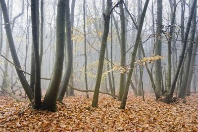 Forest autumn-Charles Bowman-Photographic Print