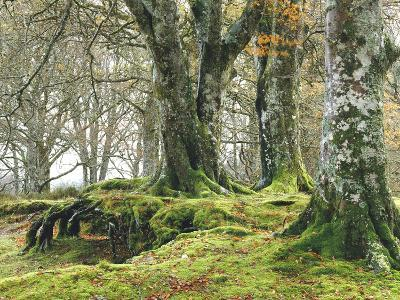 Forest, Beech Trees, Forest Soil, Moss, Autumn-Thonig-Photographic Print