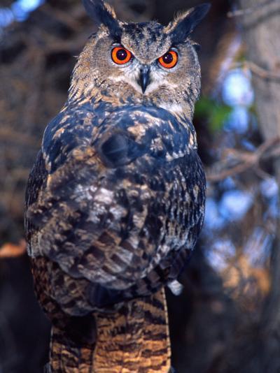 Forest Eagle Owl, Native to Eurasia-David Northcott-Photographic Print