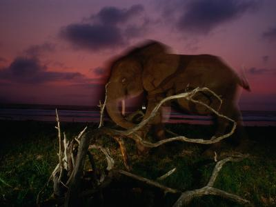Forest Elephant, Loxodonta Africana Cyclotis, Walking Along a Beach-Michael Nichols-Photographic Print