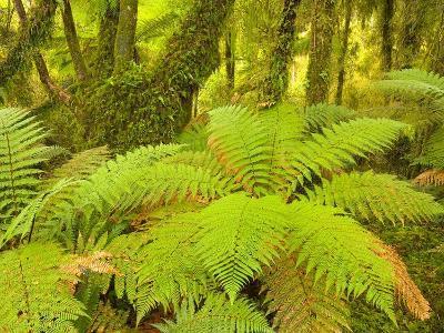 Forest on West Coast of New Zealand's South Island-John Eastcott & Yva Momatiuk-Photographic Print
