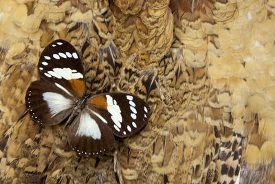 https://imgc.artprintimages.com/img/print/forest-queen-butterfly-euxanthe-tiberius_u-l-pznq480.jpg?p=0