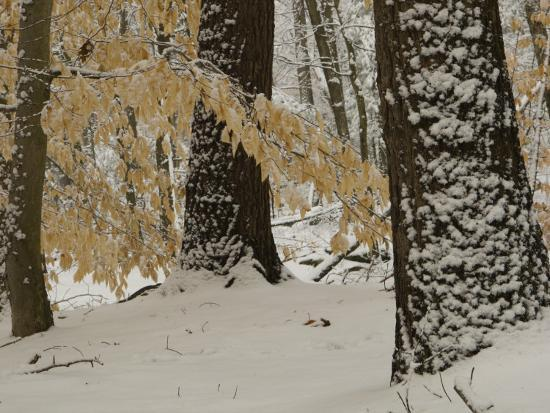 Forest Scene after a Snow Fall-Tim Laman-Photographic Print