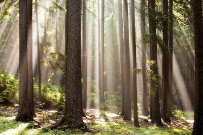 Forest Scene with Sun Rays Shining Through Branches--Photographic Print