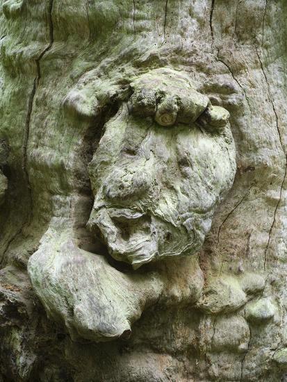 forest spirit, tree face in old beech, Urwald Sababurg, Reinhardswald, Hessia, Germany-Michael Jaeschke-Photographic Print