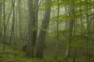 Forest with Beech Trees and Black Pines in Mist, Crna Poda Nr, Tara Canyon, Durmitor Np, Montenegro-Radisics-Photographic Print