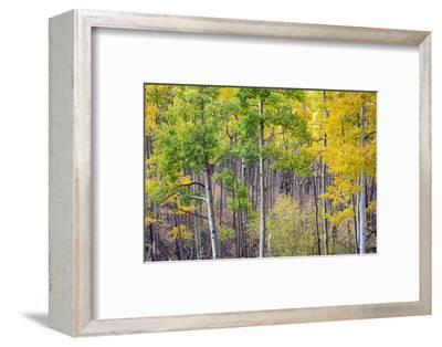 Aspen Grove in Santa Fe National Forest in Autumn