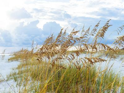 Golden Sea Oats Waving in the Breach on a Pristine Beach in Pensacola, Florida