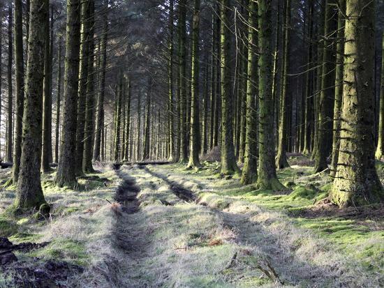 Forestry Commission Plantation, Sousons, Dartmoor, Devon, England, United Kingdom, Europe-David Lomax-Photographic Print