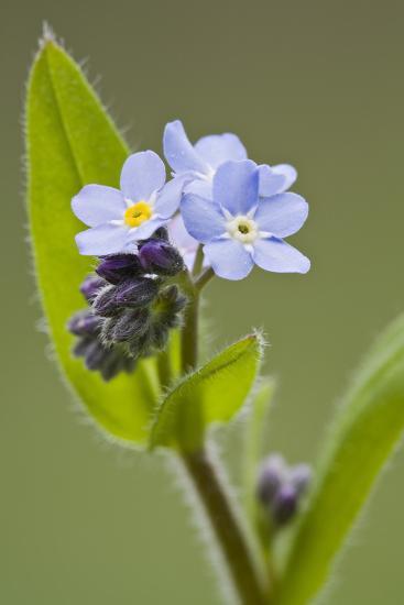 Forget-Me-Not, Myosotis, Blossoms-Rainer Mirau-Photographic Print