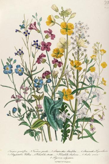 Forget-Me-Nots and Buttercups, Plate 13 from 'The Ladies' Flower Garden', Published 1842-Jane W^ Loudon-Giclee Print
