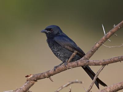 Fork-Tailed Drongo (Dicrurus Adsimilis), Kruger National Park, South Africa, Africa-James Hager-Photographic Print
