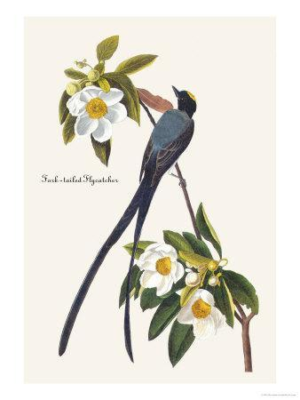 https://imgc.artprintimages.com/img/print/fork-tailed-flycatcher_u-l-p27dct0.jpg?p=0