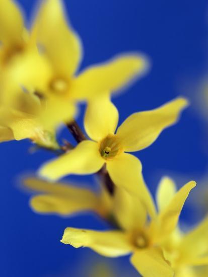 Forsythia flowers-Frank Krahmer-Photographic Print