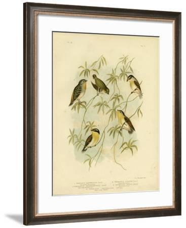 Forty-Spotted Diamondbird or Forty-Spotted Pardalote, 1891-Gracius Broinowski-Framed Giclee Print