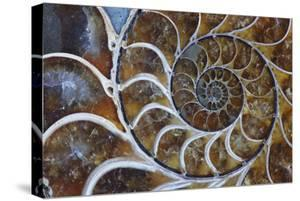 Fossil Ammonite, Upper Early Cretaceous