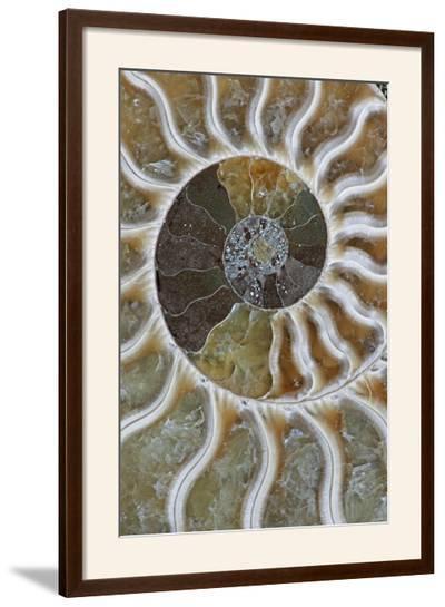 Fossil Ammonite--Framed Photographic Print