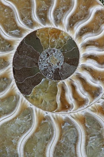Fossil Ammonite--Photographic Print